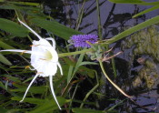 Spider Lilly and Pickerel Weed Flowers in a Wetland